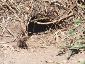 A shearwater burrow