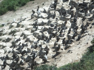 Shags nesting at Nugget Point