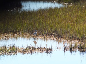 Waterfowl in Scarboro Marsh