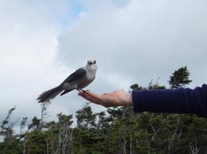 Feeding a Canada Jay